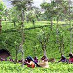 Свойства цейлонского чая, происхождение, интересные факты